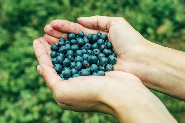 Woman hands picking ripe blueberries. close up shoot with palm full of berries