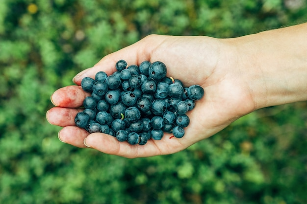 Woman hands picking ripe blueberries.