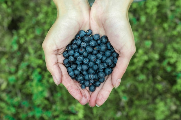 Woman hands picking ripe blueberries