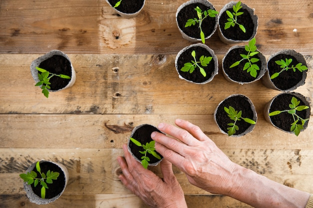 Woman hands planting small green tomato seedlings in biodegradable eco paper flower pots on reclaimed palette wood planks table background flat lay. organic agriculture farming concept idea.