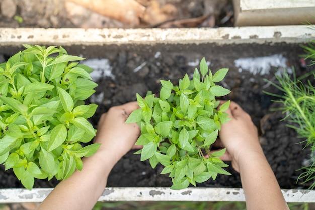 白い鍋に野菜や甘いバジルを植える女性の手