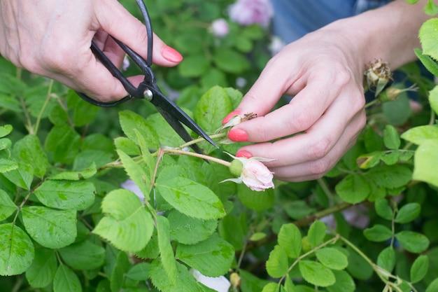 Женщина руки обрезка увядших роз в саду