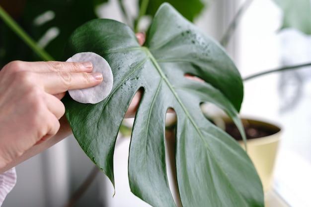여자 손, 관엽 식물 잎에서 먼지를 닦아, 목화 패드를 사용하여 식물 monstera 돌보는