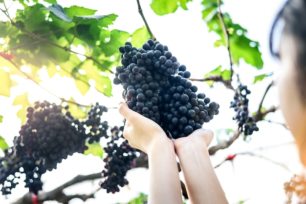 Woman hold purple red grapes on the vine