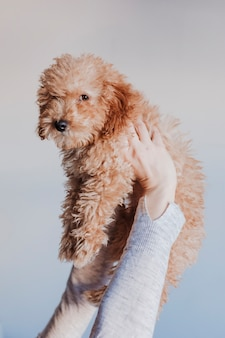 Woman holding baby toy poodle high. home, indoors, love and care for animals concept