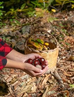 Женщина, держащая каштаны и корзину каштанов в лесу, сардинские каштаны, матовые каштаны