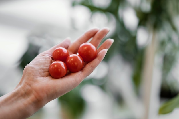 Woman holding cultivated tomatoes in her hand