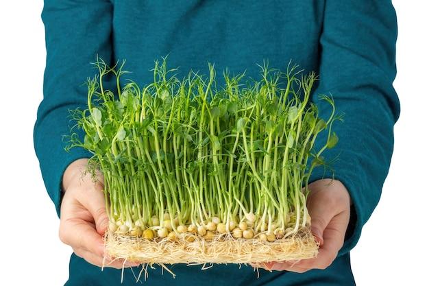흰색 배경에 고립 된 뿌리와 microgreens를 들고 여자. 집에서 재배한 완두콩 마이크로 녹색 새싹의 수확. 도시 에코 바이오 원예 개념입니다.