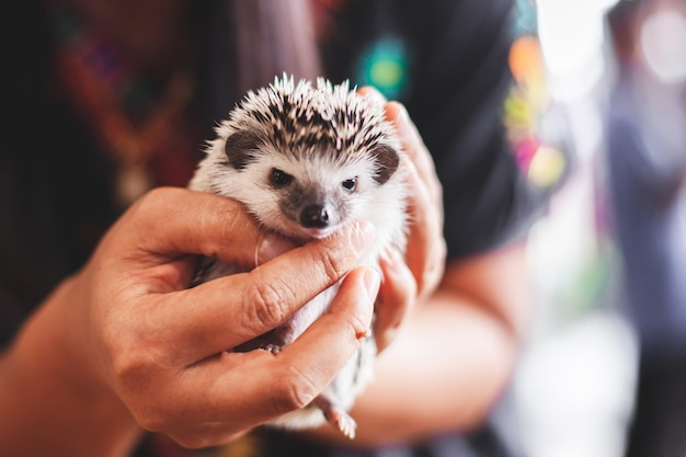 Woman holding and playing with small hedgehog porcupine