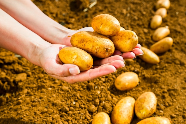 Woman holding potatoes freshly picked