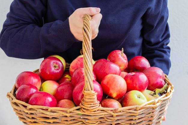 Женщина держит большую плетеную корзину с красными и желтыми яблоками на стене белой стены, свежий урожай из сада