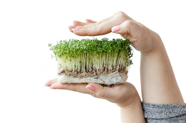 Женщина держит и заботится о ростках микро зелени растений в пластиковой коробке, руки крупным планом, изолированные