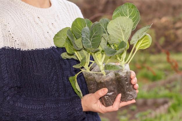 女性は、背景に庭を植える準備ができている土とプラスチック製の鉢にキャベツの苗を保持します。野菜の栽培
