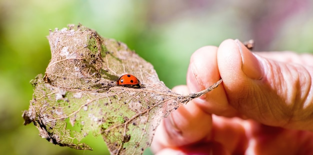 Woman holds in her hand a dry leaf on which the ladybug sits