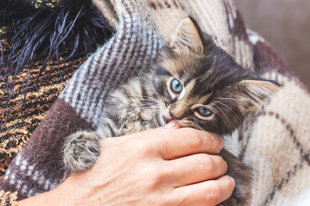 A woman holds a small kitten on her hands. a kitten is protected in a woman's hands_
