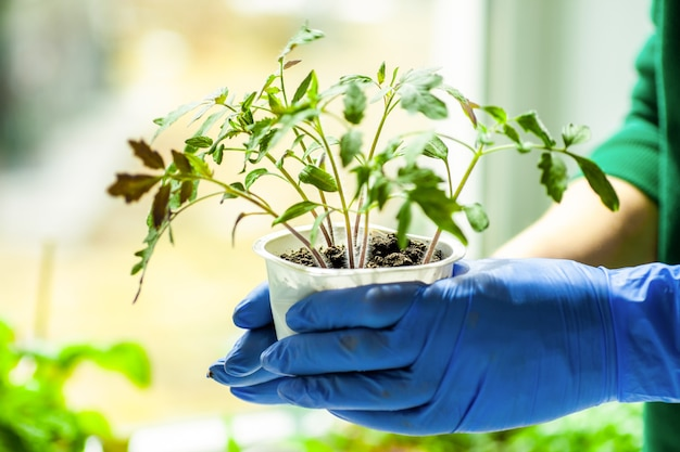 Woman holds tomato seedlings grown in pots before planting to garden