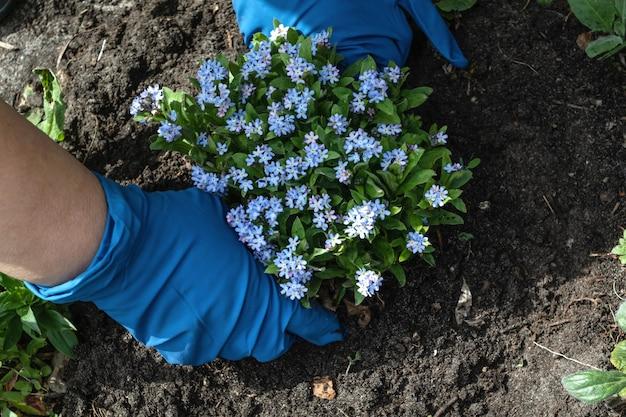 Женщина в синих перчатках сажает цветы незабудки.