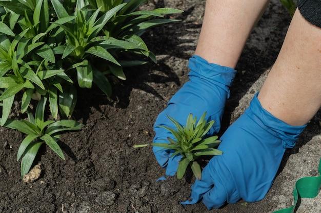 Женщина в синих перчатках сажает садовые цветы