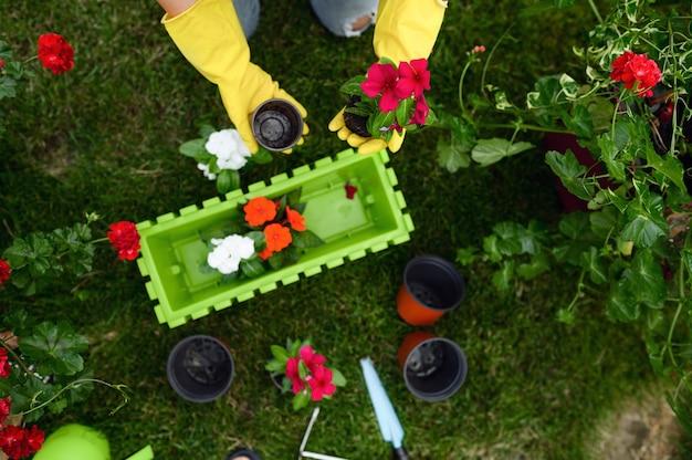 手袋をはめた女性は、庭の鉢に花を移植します。上面図。女性の庭師は、屋外の植物、ガーデニングの趣味、花屋のライフスタイルとレジャーの世話をします