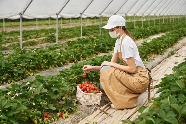 新鮮なイチゴを収穫する医療マスクの女性