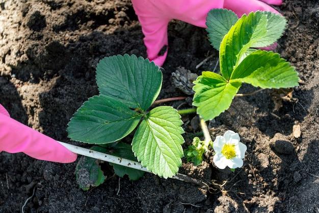 Женщина в розовых перчатках заботится о кустах клубники в саду. хобби, бизнес, садоводство. крупный план.