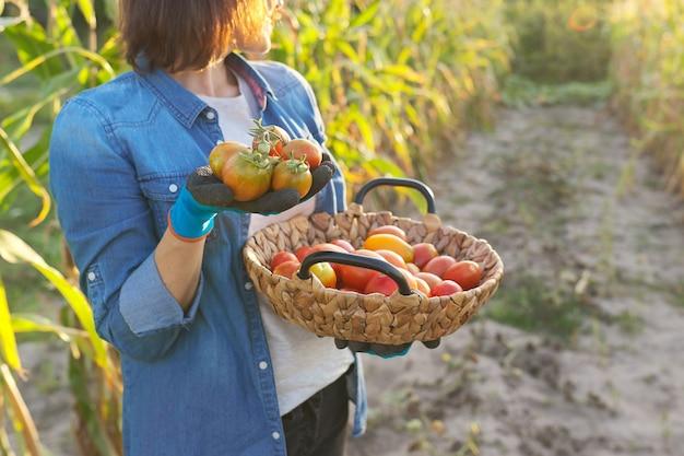 熟した赤いトマトの作物とバスケットを持つ菜園の女性。趣味の成熟した女性、ガーデニング、有機トマトの栽培、健康的な自然食品、コピースペース