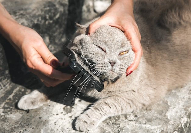 Woman is brushing grey cat outdoors. fluffy pet grooming. fur shedding. happy animal in summer.