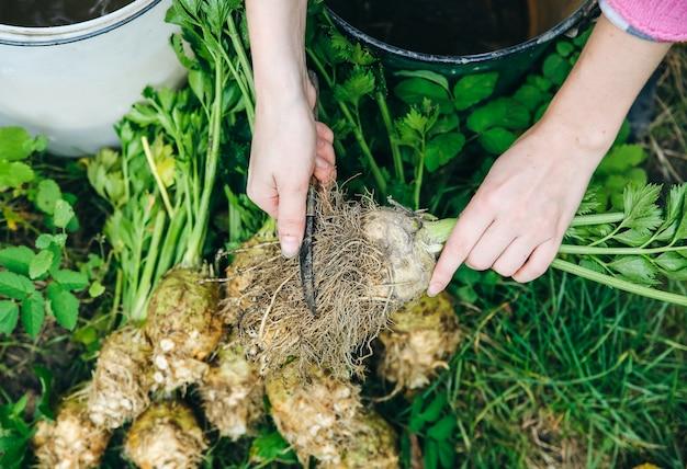 女性は庭からセロリを掃除しています。生態学的な自家製野菜。環境にやさしいコンセプト。