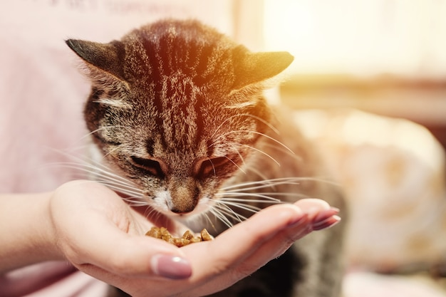Woman is feeding cat, cat eats from hands of girl, happy and satisfied cat with owner