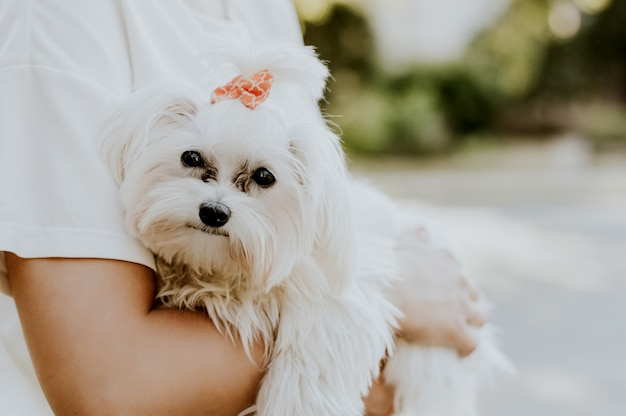 Woman is holding her cute maltese terrier.