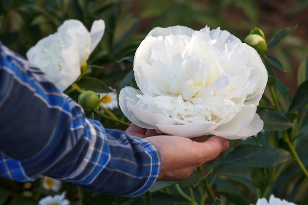Woman is holding peony flower on her palm with green natural background. selective focus on the flower