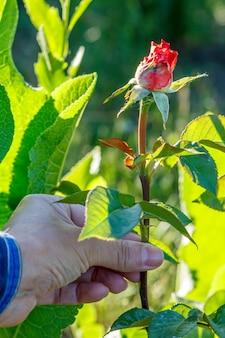 Женщина держит в руке цветок розы с зелеными листьями на заднем плане. селективный акцент на цветке