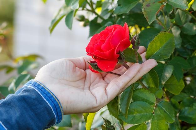Женщина держит цветок розы на кусте с зелеными листьями на заднем плане. селективный акцент на цветке. роза растет на кусте в саду