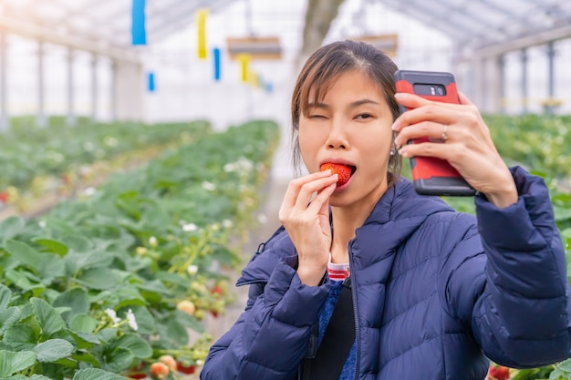 Woman is picking up strawberry and eating strawberry buffet in sendai hydroponic strawberry farm Premium Photo
