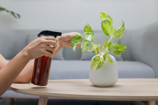 Woman is spraying liquid fertilizer to the plant on the wooden table in the living room
