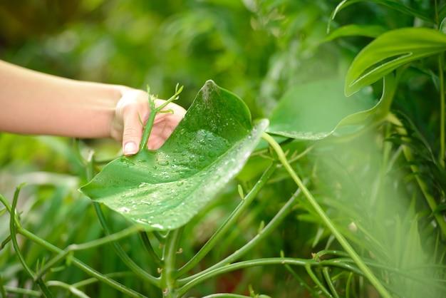 女性は温室に立っている間植物の世話をしています。
