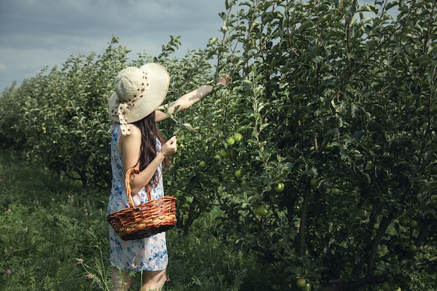 Женщина собирает яблоки в корзине руки в саду