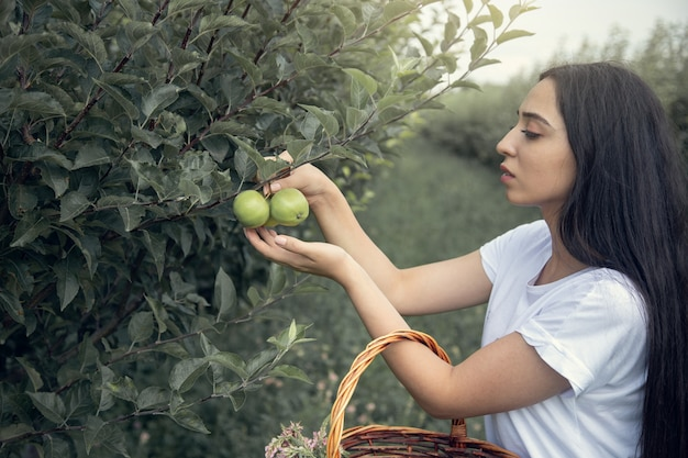 Женщина собирает яблоки на дереве в саду