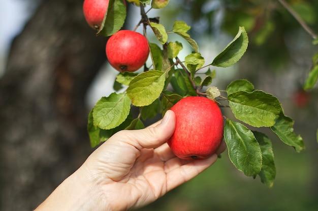 枝から熟した赤いリンゴを選ぶ女性