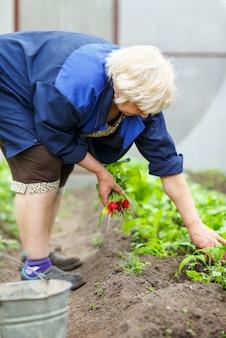 여자가 그녀의 정원에서 신선한 무를 따기