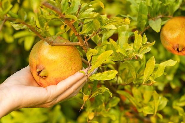 나무에서 석류를 따는 여자. 과일과 함께 여성의 손입니다. 석류 수확.