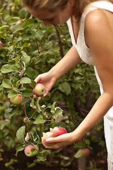 熟したリンゴを拾う女性。リンゴの収穫。秋のコンセプトです。