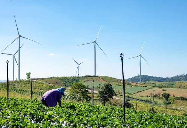 Woman picking strawberries in the field of the wind farm.