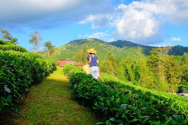 태국 차 농장에서 찻잎 따는 여자
