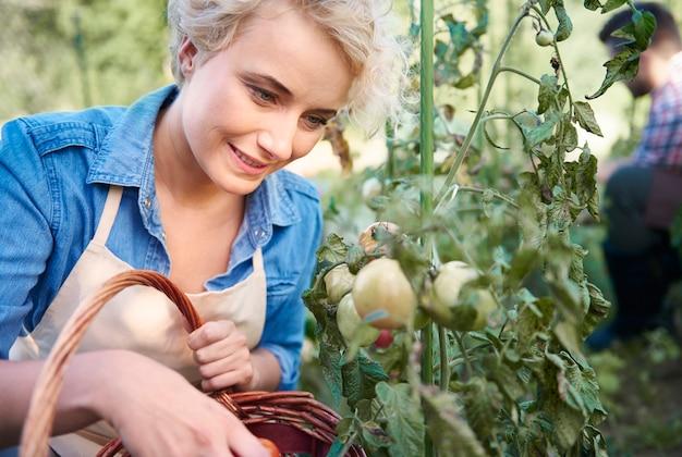 Женщина собирает помидоры в своем саду