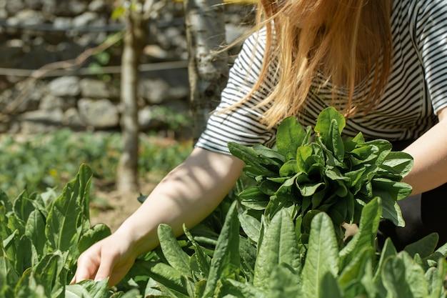 女性は菜園でレタスの葉を摘みます。
