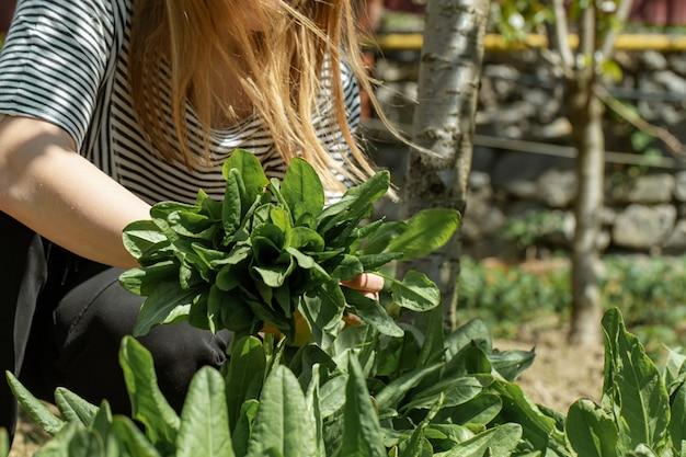 女性は菜園でレタスの葉を選ぶ