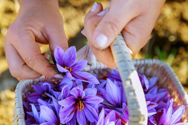女性はバスケットでサフランの花を選ぶ