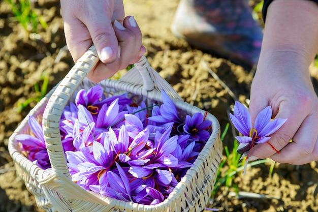 여자는 바구니에 사프란 꽃을 선택합니다.