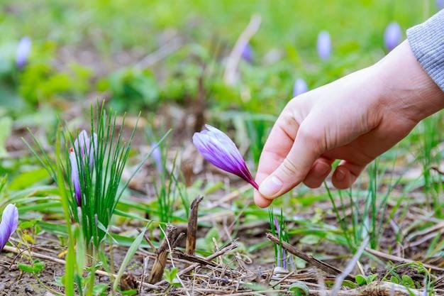 여자는 사프란 꽃을 선택합니다. 꽃이 피는 동안 사프란 밭에 사프란 꽃.